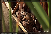 鴞與黑枕藍鶲:IMG_2490.jpg