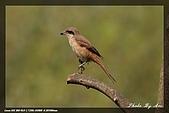 鴞與黑枕藍鶲:IMG_2589.jpg