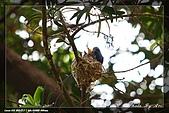 黑枕藍鶲育雛:IMG_5118.jpg