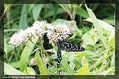 七星山蝶影:小紋青斑蝶