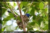 黑枕藍鶲育雛:IMG_4966.jpg