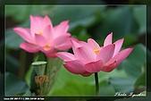 植物園賞荷及陽明山見大冠鷲:IMG_6800.jpg