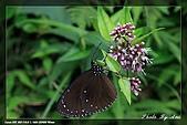 七星山蝶影:圓翅紫斑蝶