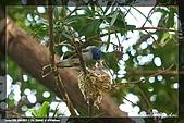 黑枕藍鶲育雛:IMG_5003.jpg