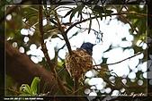 黑枕藍鶲育雛:IMG_5120.jpg