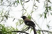 大安森林公園賞鳥趣:IMG_3271