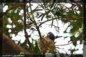 黑枕藍鶲育雛:IMG_5042.jpg