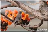 三重 - 栗尾椋鳥:IMG_0951.JPG