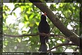 巧遇五色鳥by970710:IMG_2761.jpg