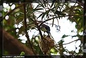 黑枕藍鶲育雛:IMG_5097.jpg