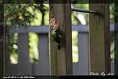 巧遇五色鳥by970710:IMG_2762.jpg