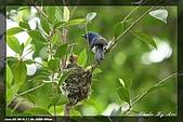 又見藍鶲育雛:IMG_5829.jpg
