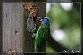 巧遇五色鳥by970710:IMG_2778.jpg