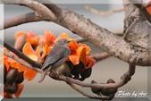 三重 - 栗尾椋鳥:IMG_0962.JPG