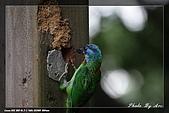 巧遇五色鳥by970710:IMG_2782.jpg