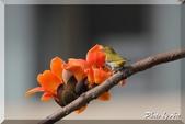三重 - 栗尾椋鳥:IMG_0967.JPG