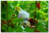 台灣之美~鹿野茶園飛羽篇:台灣五彩鳩