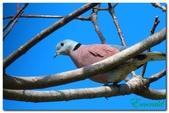 台灣之美~鹿野茶園飛羽篇:灰鳩