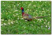 台灣之美~鹿野茶園飛羽篇:台灣特有種環頸雉