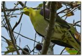 台灣之美~鹿野茶園飛羽篇:淺綠鳩