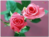 台灣之美~玫瑰花語:玫瑰花語