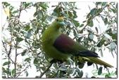 台灣之美~鹿野茶園飛羽篇:綠鳩