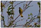台灣之美~鹿野茶園飛羽篇:綠鳥