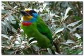 台灣之美~鹿野茶園飛羽篇:台灣特有種五色鳥