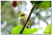 台灣之美~鹿野茶園飛羽篇:綠繡眼
