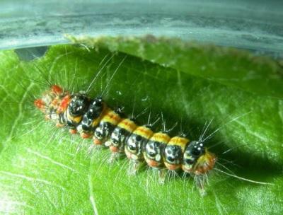 「澎湖驚傳怪病」黃毒蛾幼蟲體色鮮豔,最長超過1公分