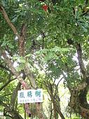 台灣趴趴造:臘腸樹.JPG