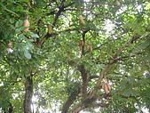 台灣趴趴造:臘腸樹1.JPG