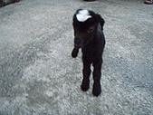 我的狗狗跟小豬跟小羊跟小狗:P4218941.JPG