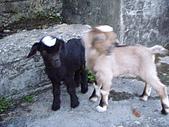 我的狗狗跟小豬跟小羊跟小狗:P4218998.JPG