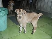 我的狗狗跟小豬跟小羊跟小狗:P3267580.JPG