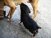 我的狗狗跟小豬跟小羊跟小狗:P4158273.JPG