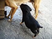 我的狗狗跟小豬跟小羊跟小狗:P4158274.JPG