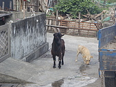 我的狗狗跟小豬跟小羊跟小狗:P3177572.JPG