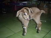 我的狗狗跟小豬跟小羊跟小狗:P3267578.JPG