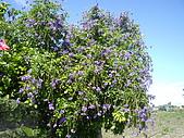 跟植物有關:蕾絲金露華和蔦蘿 005.jpg