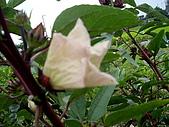 跟植物有關:洛神花 002.jpg