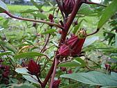 跟植物有關:洛神花 004.jpg