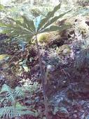 跟植物有關(5):11311013_1562650730664940_1162064038_n長行天南星.jpg