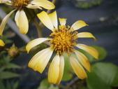 跟植物有關(5):2014-01-21 023山菊.jpg