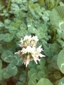 跟植物有關(5):菽草.jpg