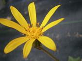 跟植物有關(5):2014-01-21 026台灣山菊.jpg