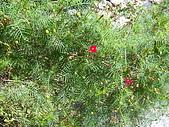 跟植物有關:蕾絲金露華和蔦蘿 003.jpg