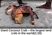 王衡:16.Giant Coconut Crab – the largest land crab in the world(1-10).jpg