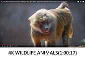 王衡:6.4K VIDEO ULTRAHD WILDLIFE ANIMALS(1-00-17).jpg