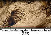 王衡:2.Tarantula Mating_dont lose your head(3-24).jpg